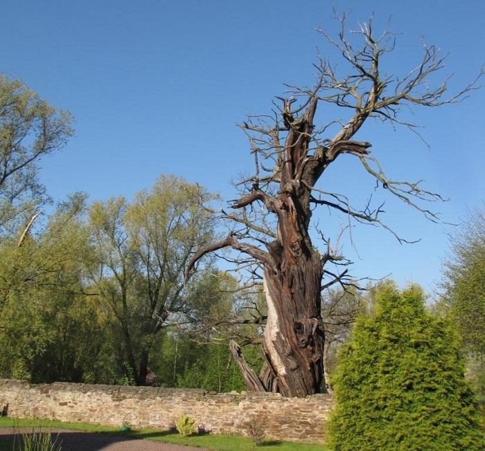 Naturdenkmal in Gersdorf. Diese Edelkastanie ist mit über 600 Jahren die älteste ihrer Art in Sachsen.
