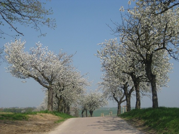 Kirschbaumblüte an der Zufahrt nach Kummersheim