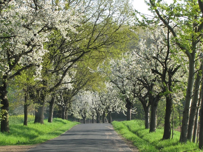Kirschbaumblüte in Gersdorf